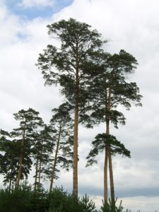 A group of Japanese Red Pines at full height.