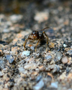 An ant walking across soil.