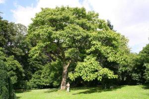 Mid-sized Empress Tree.