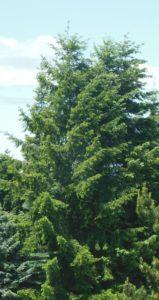 A group of Douglas Fir trees.
