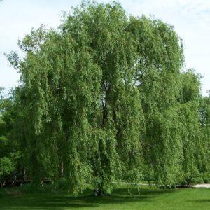 Willow Tree growing near lake.