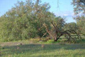 An unpruned Empress tree.