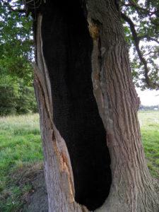 Lightening damaged tree.