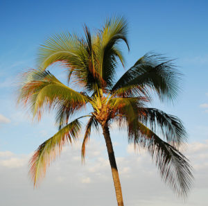 A palm tree against a blue sky.