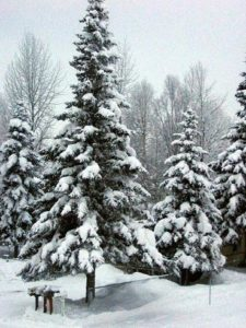 Trees covered in snow.