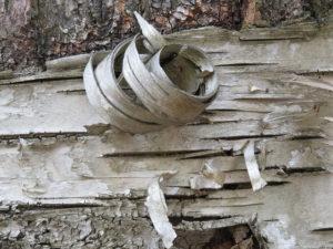 Peeling bark on a tree.